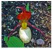 01-Cypripedium-pubescens