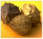 Luffa-operculata-rinitis-picor-nasal