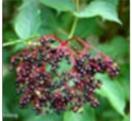 Sambucus-nigra-sequedad-nariz-mucosa